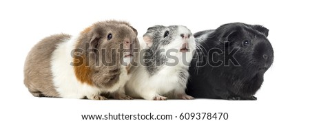 Three Guinea pigs, carvia porcellus, isolated on white #609378470