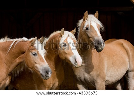 Three Haflinger mares on black background
