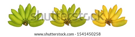 Three hand of Lady Finger Bananas isolated on white background & step from raw to ripe. When ripe has yellow color. The banana are small, thin skinned & sweet taste. Rich in vitaminC & Beta Carotene.