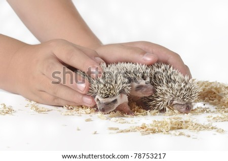 Three hedgehog