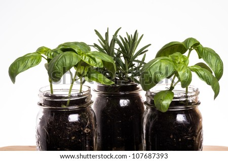 Three herb plants in mason jars on kitchen windowsill