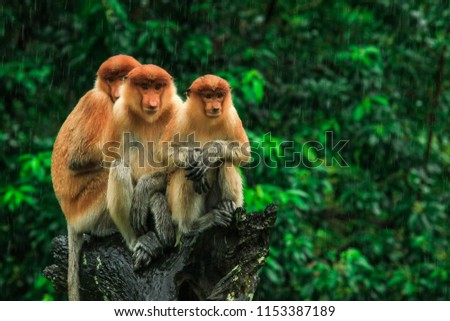 Three Hiding Proboscis Monkeys looking in the trees, Borneo, Malaysia