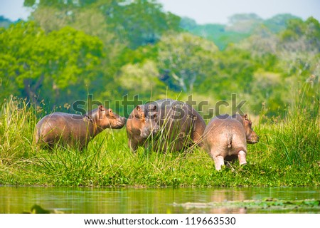 Three hippopotamus from Africa on the coast of the river