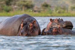 three hippopotamus,Hippo family,Wildlife, Wild animals, National Park,Hippopotamus in water