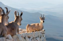 Three holidaymakers of the nubian ibex (Capra nubiana) in Mizpe Ramon - Israel