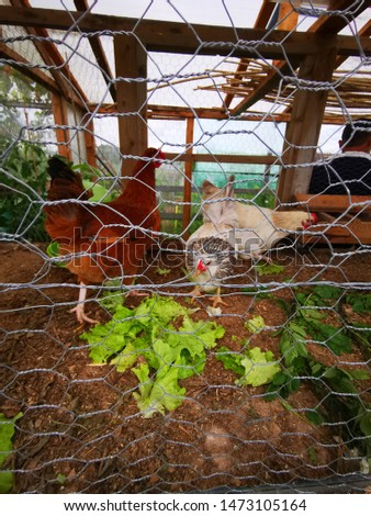 Three homegrown chickens eating lettuce in a chicken coop