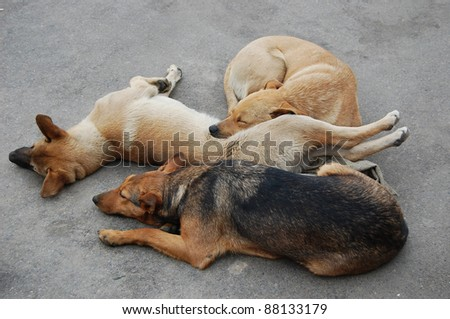 Three homeless dogs sleeping on the road
