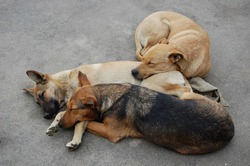 Three homeless dogs sleeps on road