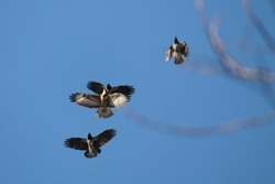 Three hooded crows (Corvus cornix) chase the common buzzard (Buteo buteo), Belarus