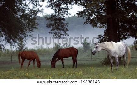 Three horse grazing on foggy morning