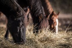 Three horses grazing on hay