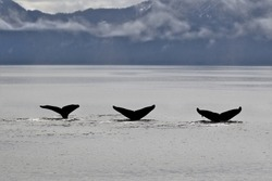 Three humpback whale tails dive together
