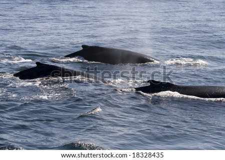 three humpback whales in ocean around cape cod in the USA