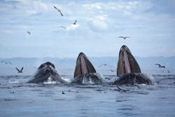 Three humpback whales lunge feed in Monterey Bay, California.