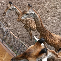 Three hungry cute Giraffe standing on the dirt in the safari looking over the fence waiting for food feeding