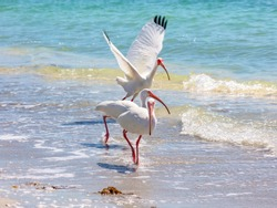 Three ibises in a row on the bank, Sanibel Island, Florida, USA