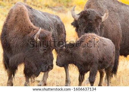 Three in a bison family with an affectionate moment between mother and calf almost touching nose to nose