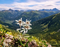 Three individuals, three very rare edelweiss mountain flower. Isolated rare and protected wild flower edelweiss flower (Leontopodium alpinum) growing in natural environment high up in the mountains.