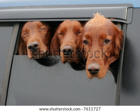 three irish setter dogs looking out car window - stock photo