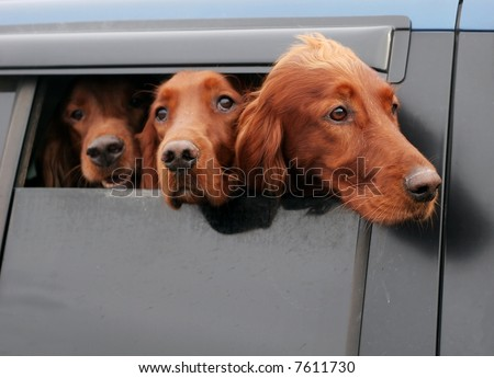 three irish setter dogs looking out car window