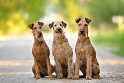 three irish terrier dogs sitting together outdoors in summer