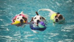 Three jack russell terrier dogs are enjoying swimming in a dog pool. They are playing fetching.