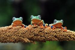 Three Javan tree frog sitting on branch, flying frog on dry leaves, amphibian closeup