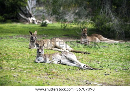 Three kangaroos laying