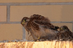 Three Kestrel Chicks. Small falcons against a brick wall. A brood of wild birds. Nest. Defenseless, furry, feathered.