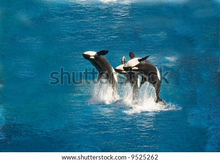 Three killer whales breach out of the water