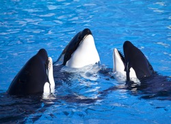 Three Killer Whales (called Orca Whales) in a group.