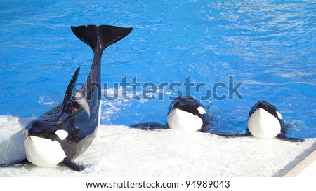 Three Killer Whales (called Orca Whales) performing for a  crowd.