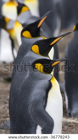 Three king penguins (Aptenodytes patagonicus) at Volunteer Point, Falkland Islands