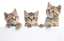 Three kitten peeking out of a blank sign, isolated on white background.