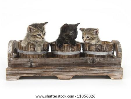 Three kittens peek over the edge of wooden flower pots on white background