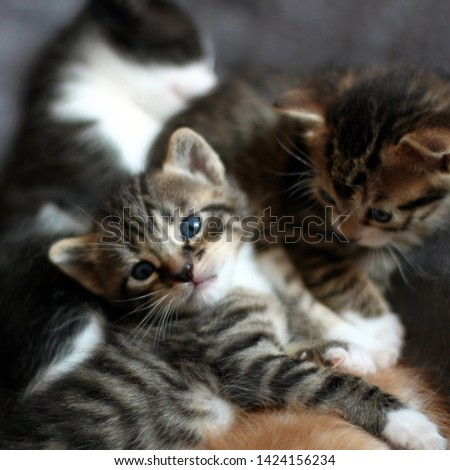Three kittens, Tabby kittens playing, Square format photo #1424156234