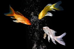 three koi carp fishes turn heads together in black background