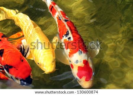 Three Koi Fish