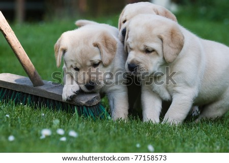 three labrador puppies in the garden