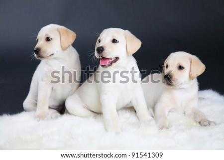 three Labrador puppy on a black background
