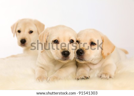 three Labrador puppy on white background