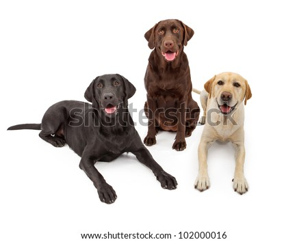 Three Labrador Retriever dogs isolated against a white backdrop with black, chocolate and yellow color coats.