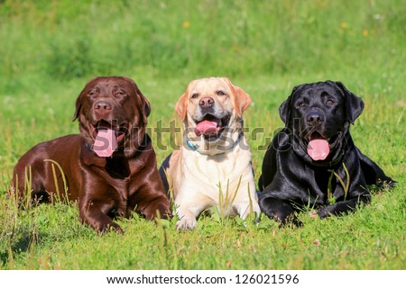 Three Labrador Retriever dogs on the grass, black, chocolate and yellow color coats.