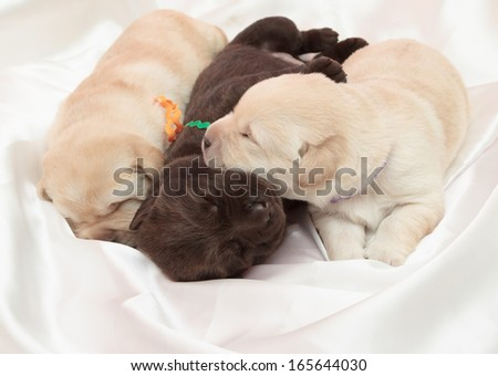 three labrador retriever puppies (one week old)