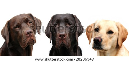Three labrador retrievers