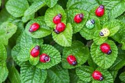Three ladybugs on the green leaf after rain
