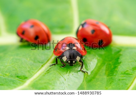 Photo of Three ladybugs on the green leaf after rain