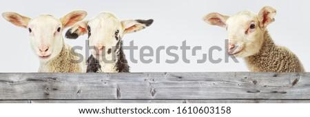 Three Lambs behind a Board Сток-фото ©