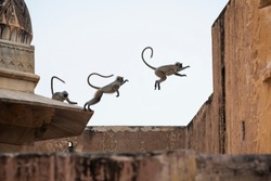 Three Langur monkeys in jumping action