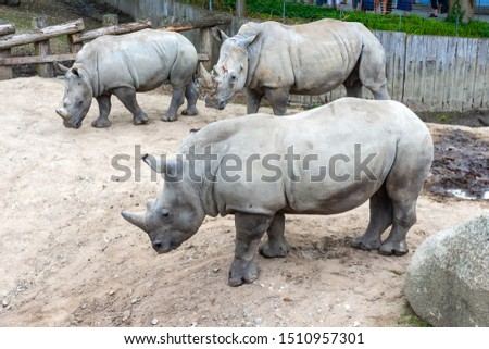Three large beautiful rhinoceros on a walk. Wild animals. Wild nature.